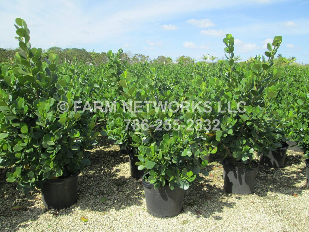Miami Gardens Florida Nurseries Nursery Farms 786 255 2832 We Deliver